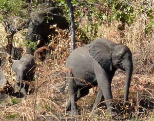 Thuma elephants